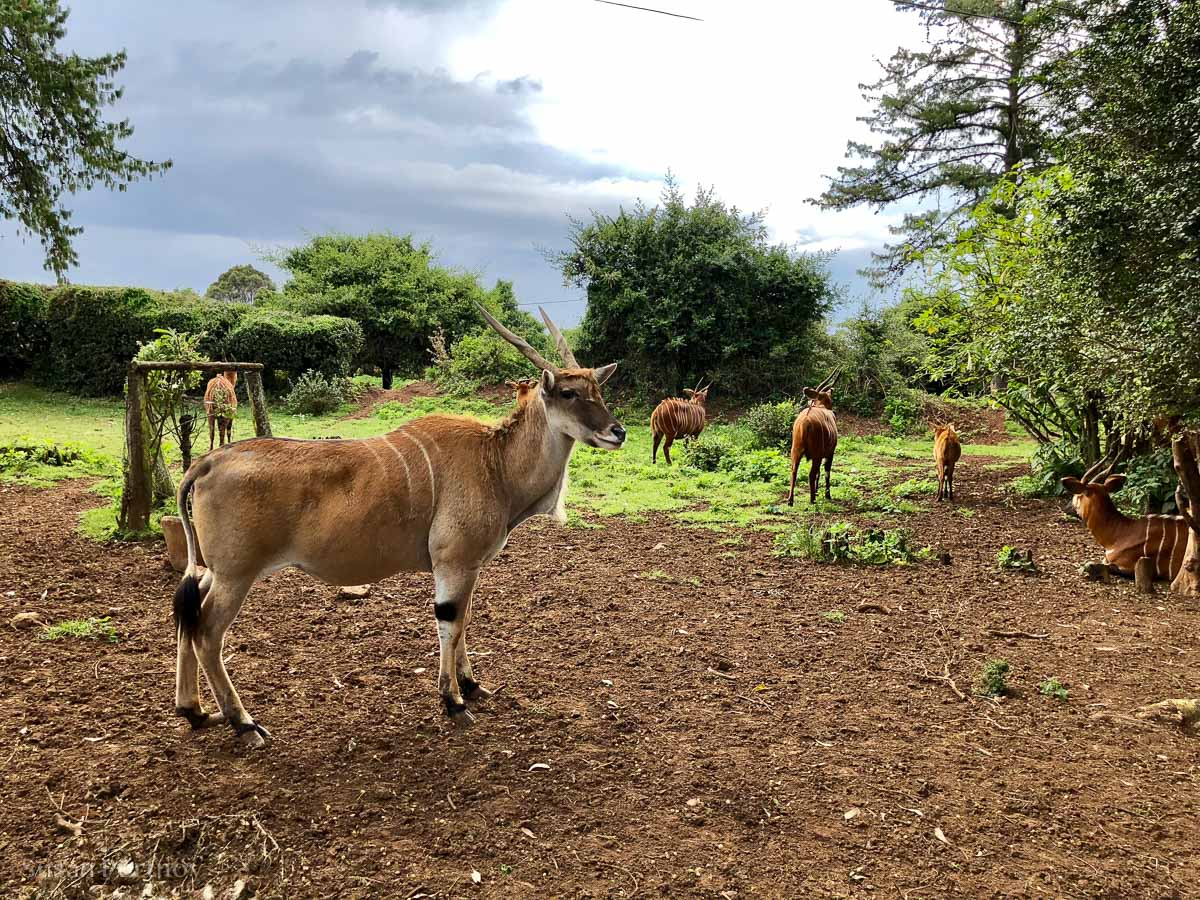 Eland at the Mount Kenya Wildlife Orphanage -How to Experience More Beyond Kenya's Big Five -035420181101