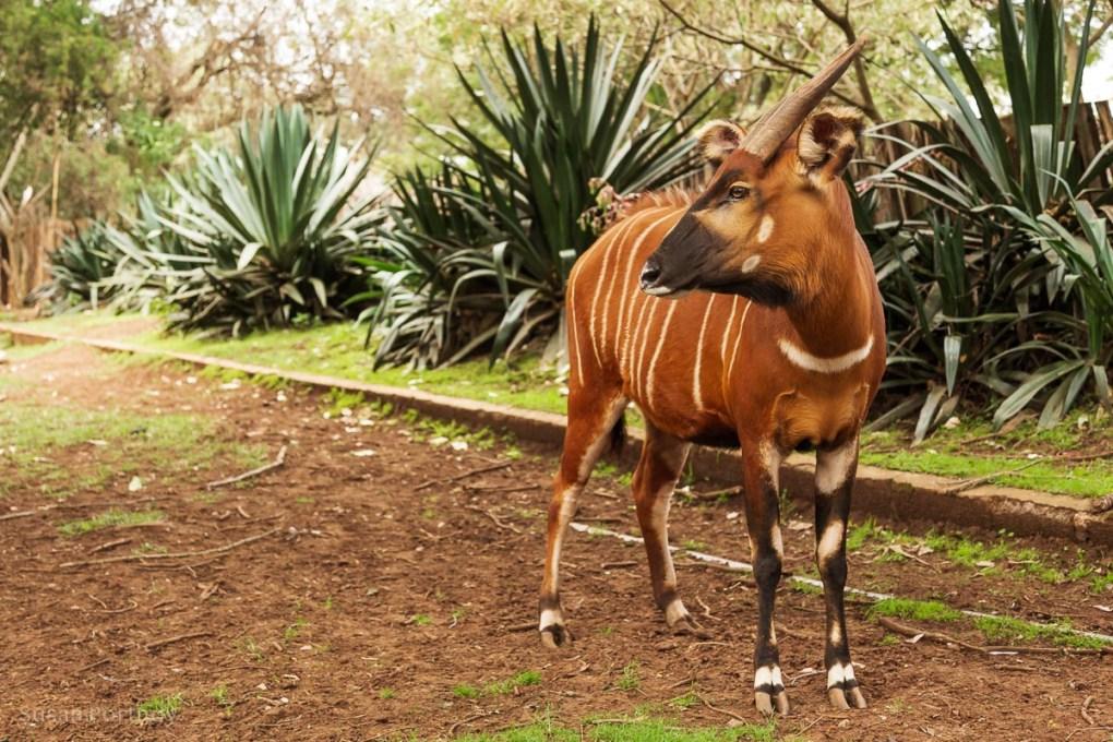 Bongo at Mount Kenya Wildlife Orphanage -