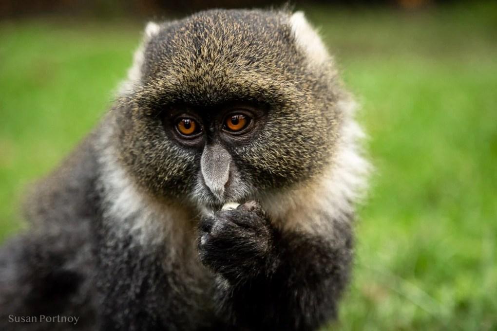 Sykes Monkey - Mount Kenya Wildlife Orphanage - How to Experience More Beyond Kenya's Big Five -7304