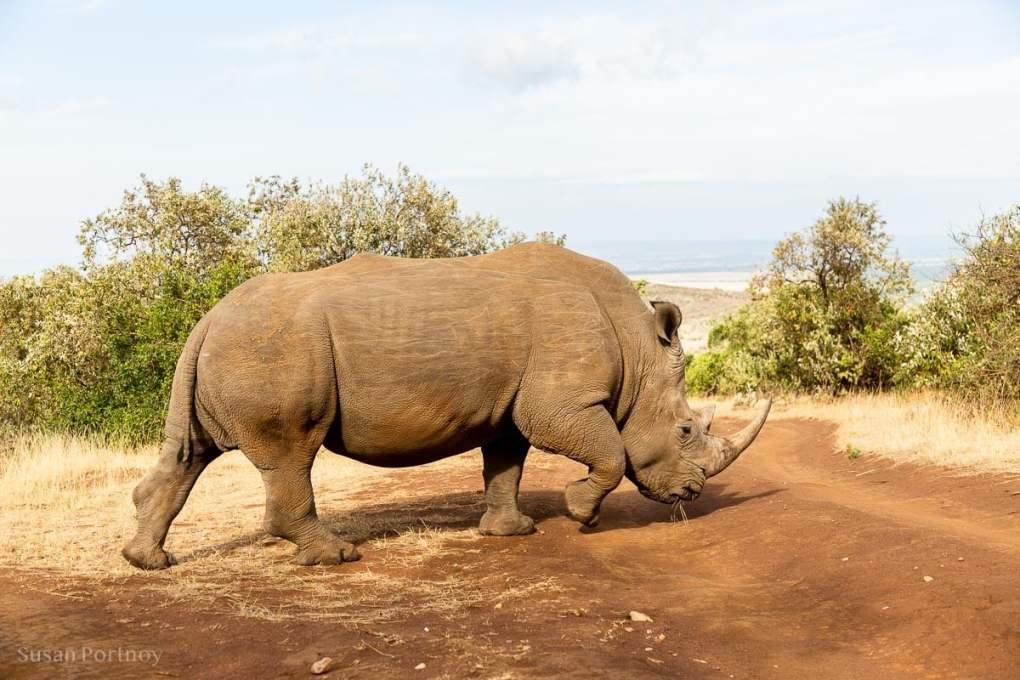 Kofi Anan - southern white rhino - Masai Mara - How to Experience More Beyond Kenya's Big Five -8241