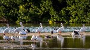 White Pelicans - Best Guide to the Ding Darling Wildlife Refuge on Sanibel Island-061301