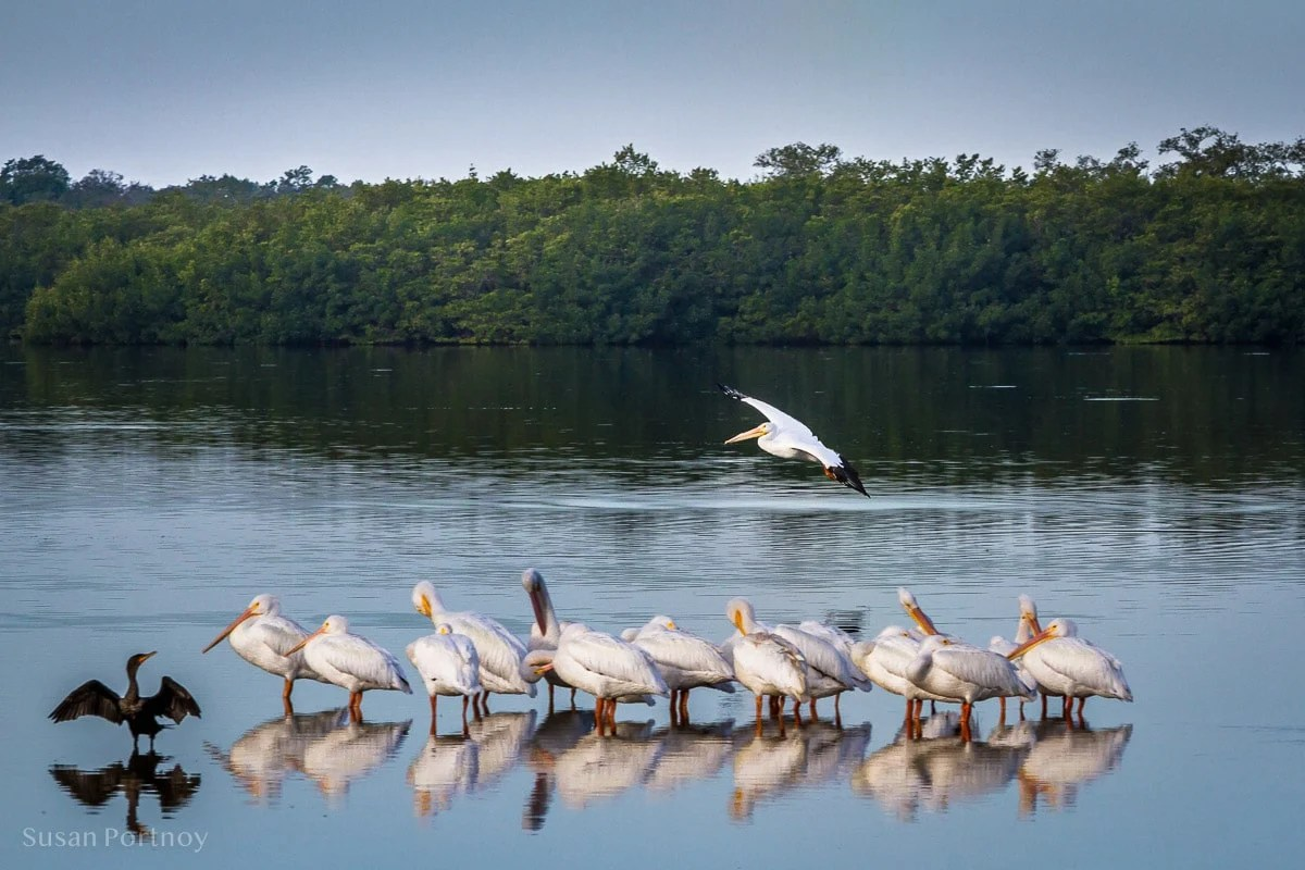 White pelicans at low tide - Best Guide to the Ding Darling Wildlife Refuge on Sanibel Island-117301