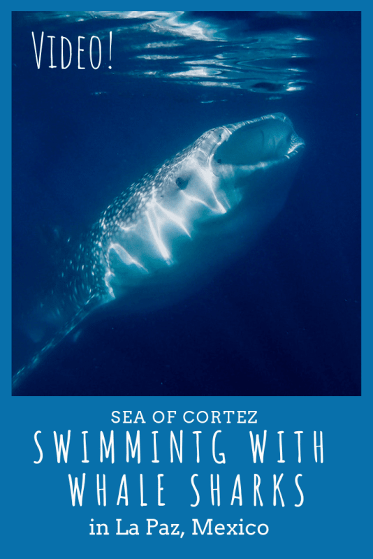 Swimming with whale sharks: one of the most fascinating experiences I've had. My video, stories, and photos will put you in the water with me! #swimmingwithwhalesharksmexico #seaofcortez #mexico #gulfofCalifornia #snorkelingwithwhalesharks. #whalesharksphotography #whalesharksvideo