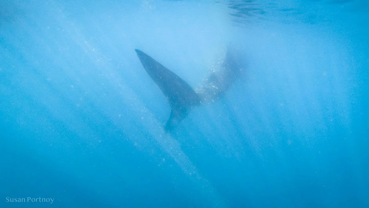Whale shark swims away in the Bay of La Paz, Mexico