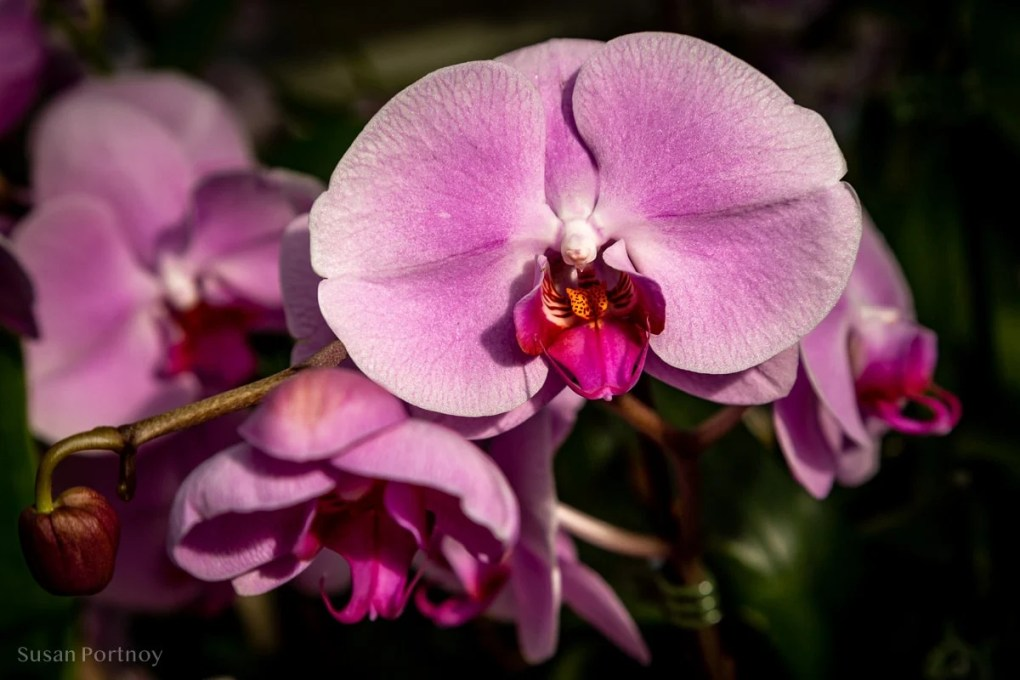 Orchid in New York Botanical Garden in the Bronx - NYBG_Orchid_Singapore-900B147220190308