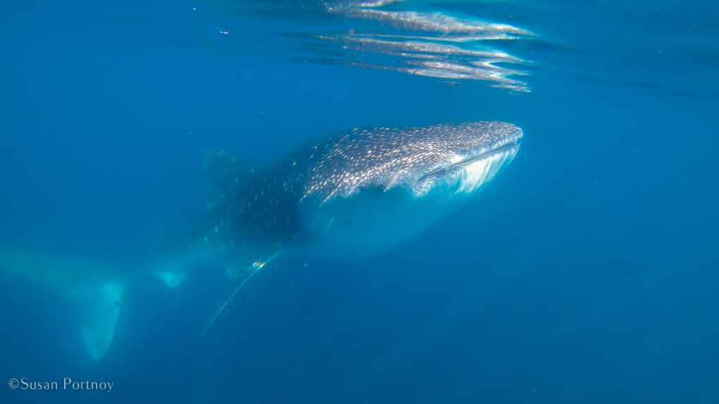 Swimming with whale sharks GH010379-620190118