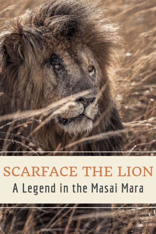 SCARFACE THE LION THE LEGEND
