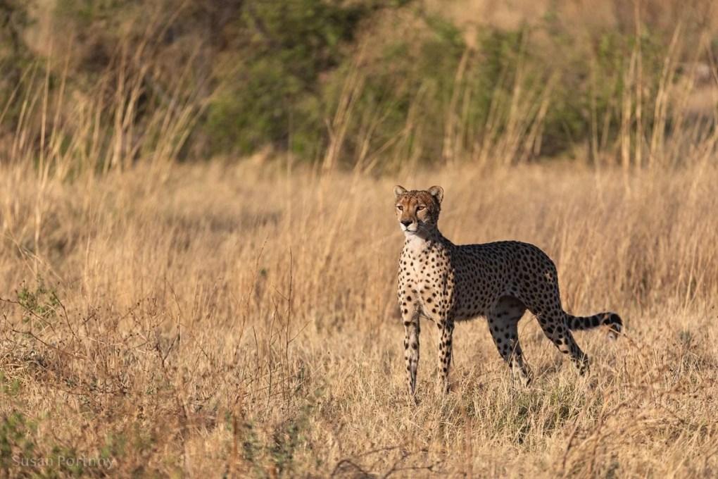 Cheetah standing in the sunlight during a Botswana Safari --Selinda Explorers Camp-0347-3