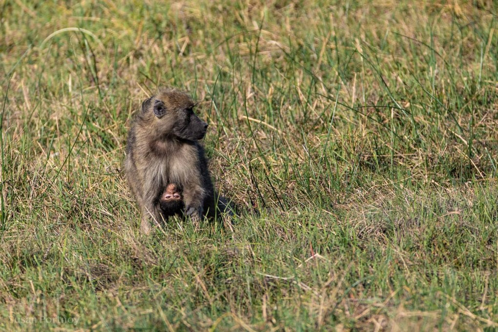 Baboon and baby in the grass