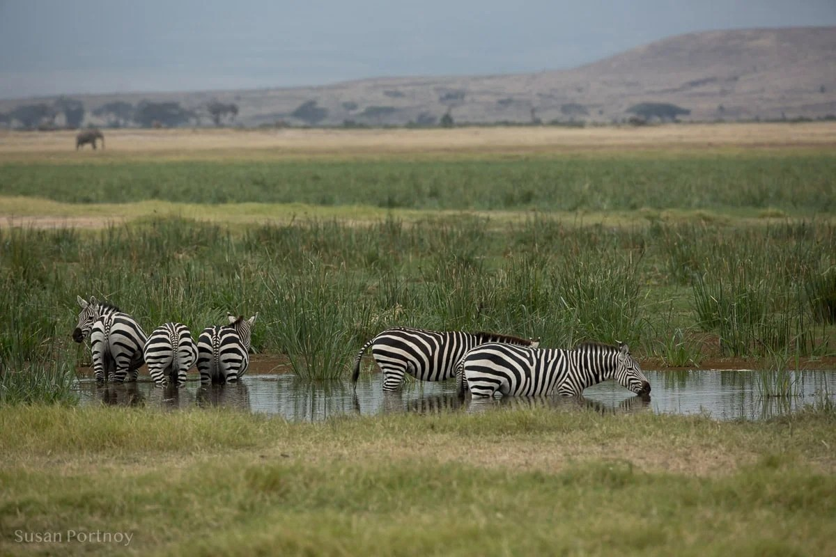 Zebra drinking in a watering hole