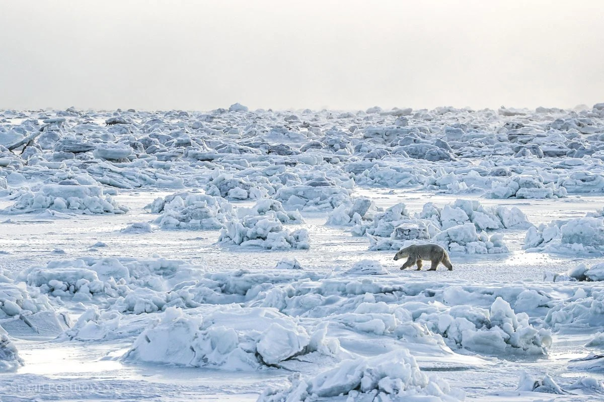 Polar bear walking across the ice in Manitobal, Canada