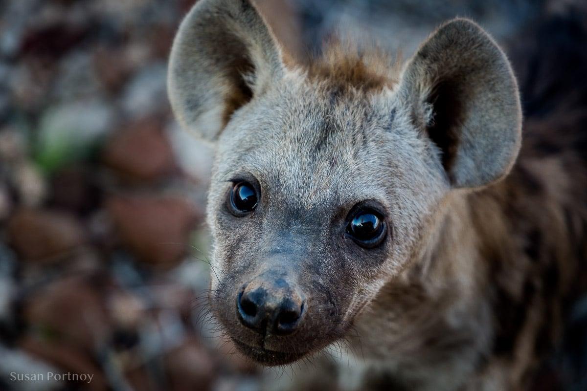 Curious spotted Hyena pup near Desert Rhino Camp, Namibia
