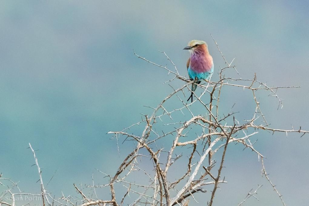 A lilac-breasted roller on a tree