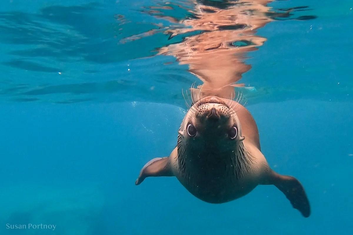 Sea lion swimming near Los Islotes