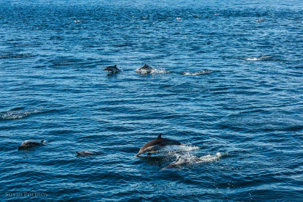 A large pod of dolpnin swimming, cruising the Sea of Cortez in Baja Mexico