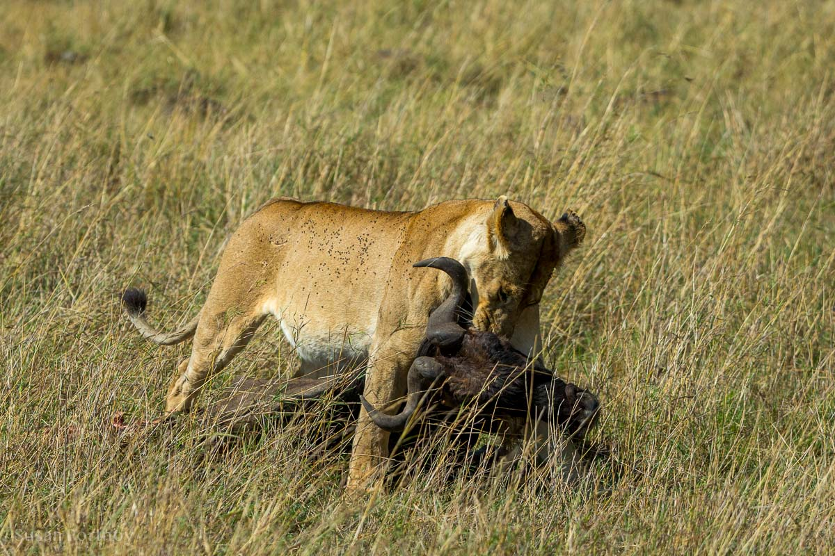 Lion dragging a wildebeest - Masai Mara Safari - Lion Stories