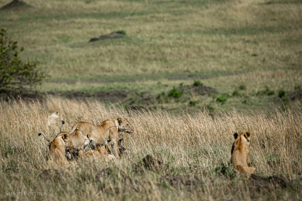 lion and cubs in the Masai Mara - Lion Stories