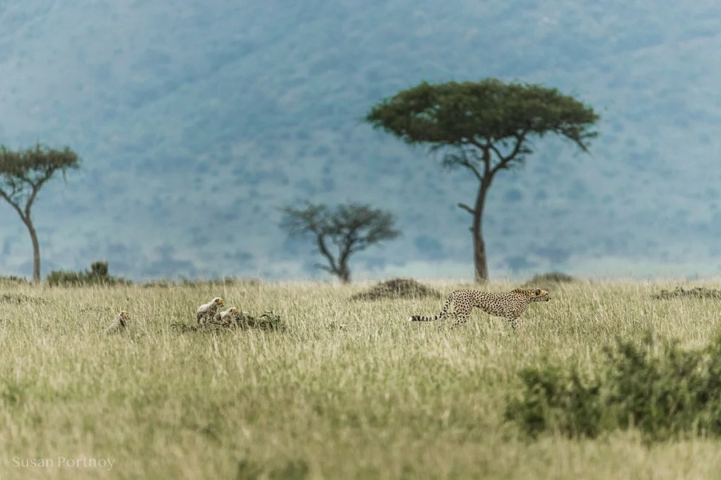 Adult female cheetah with cubs following her - Wildlife tales