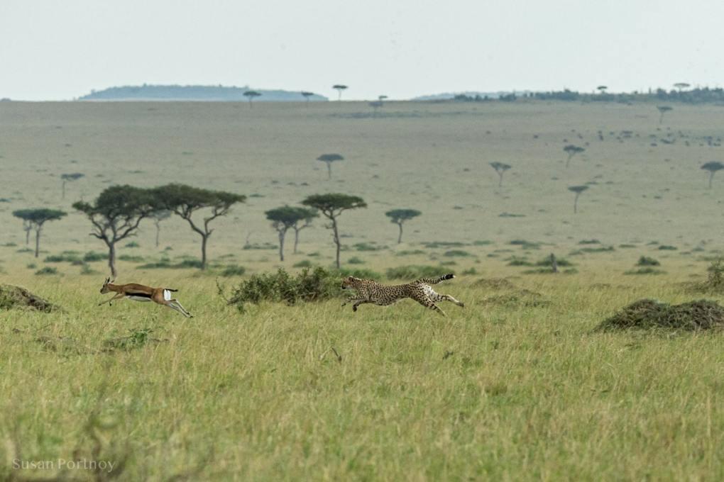 Cheetah chasing an impala