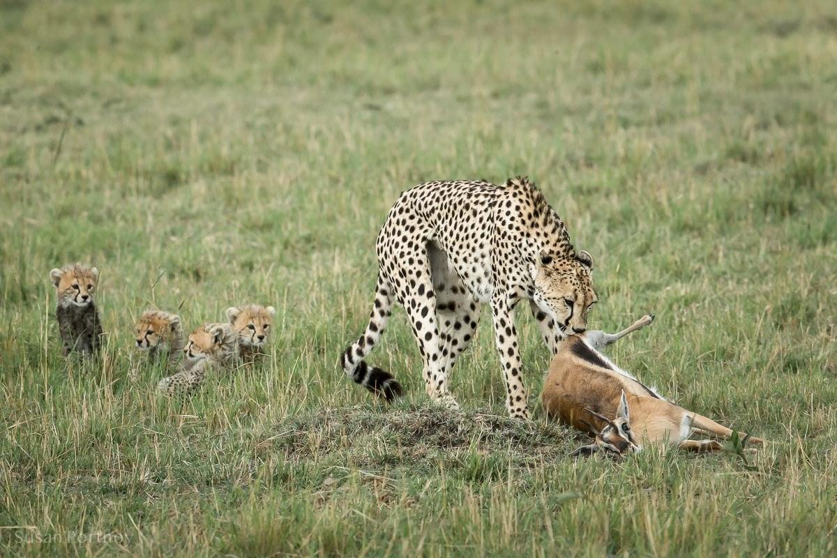 Cheetah mother dragging an impala kill toward her cubs