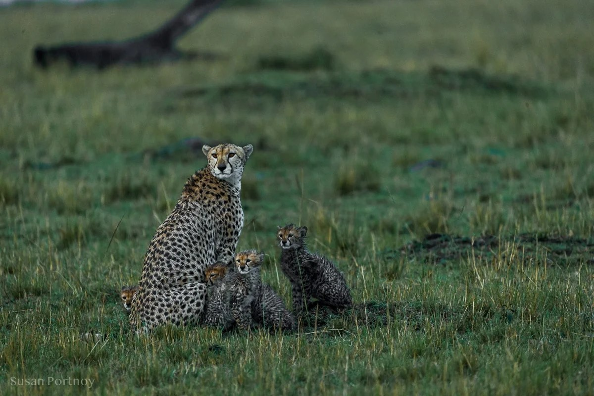 Mother cheetah with her cubs in the rain