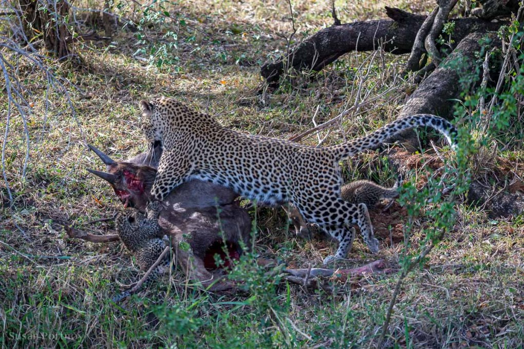 Leopard drags wildebeest kill - Mara Plains