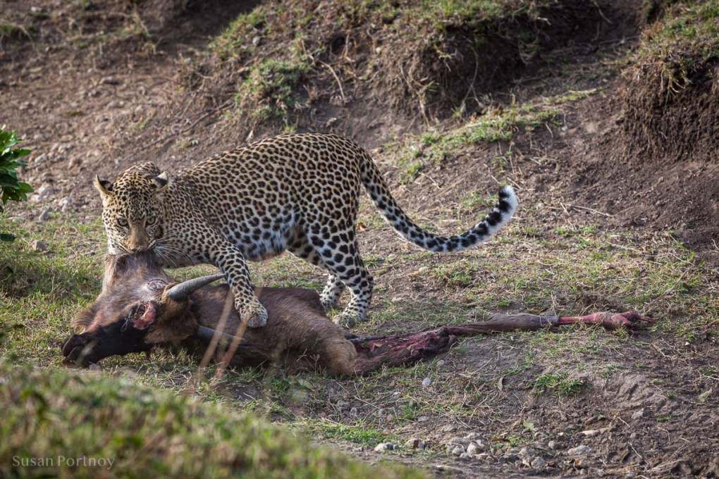 Lion with wildebeest carcass at her feet