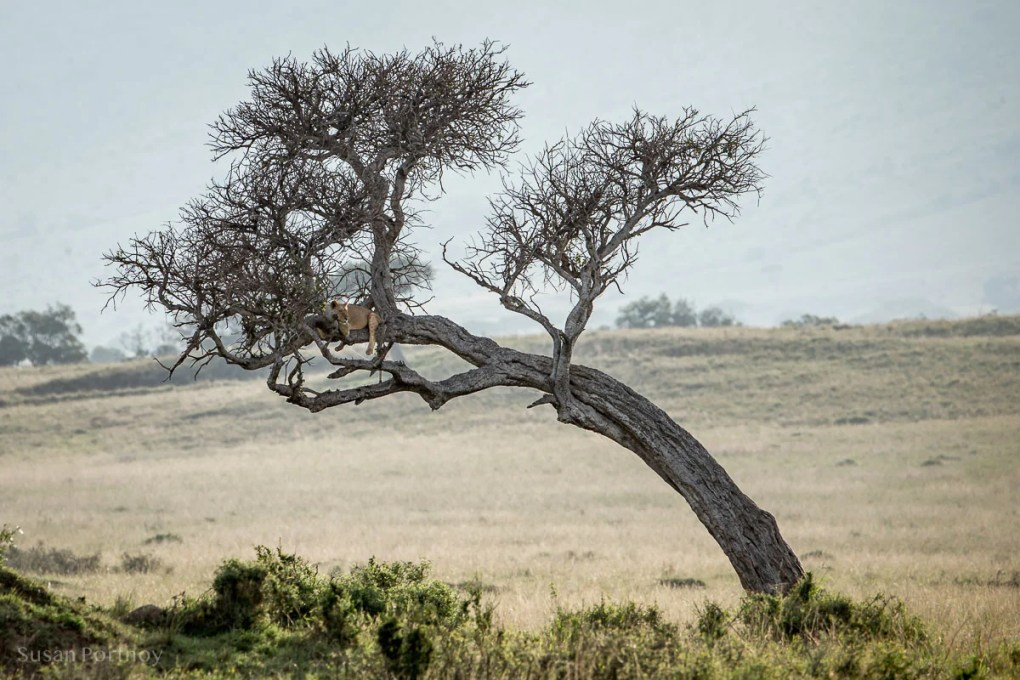 lion in a tree in the Masai Mara Wildlife Stories