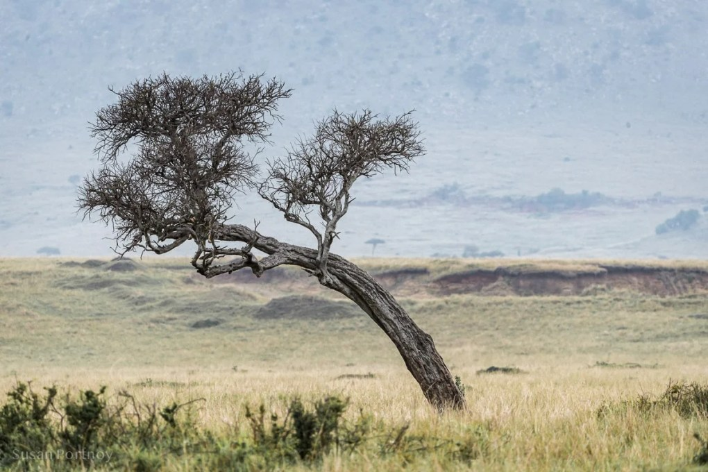 Tree in Masai Mara