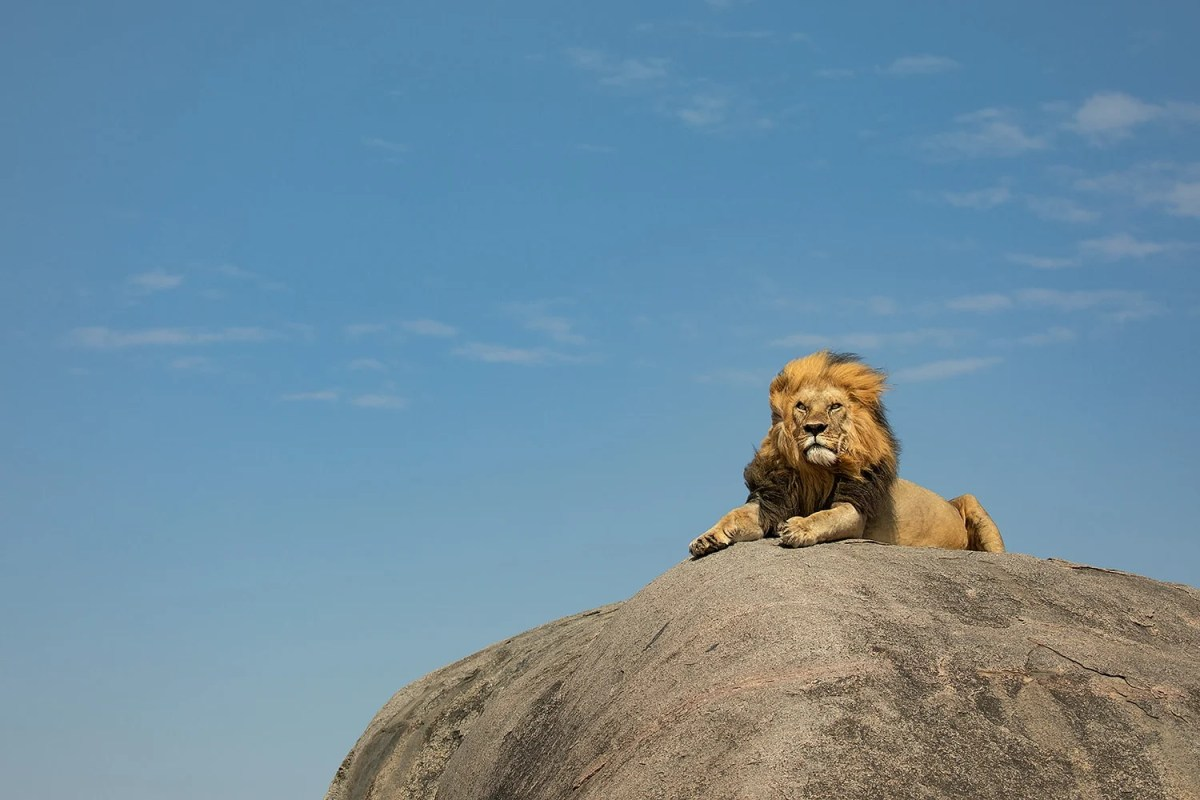 LIon on a rock in Tanzania