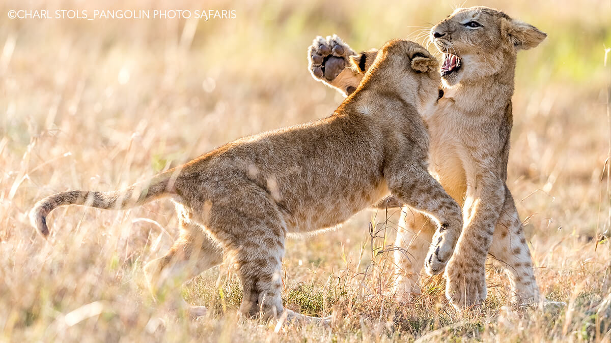 Two lions playing Photo: Charl-Stols
