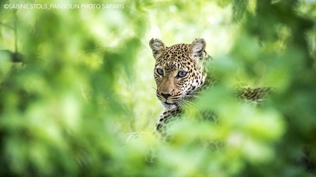 Leopard Photo: Charl-Stols