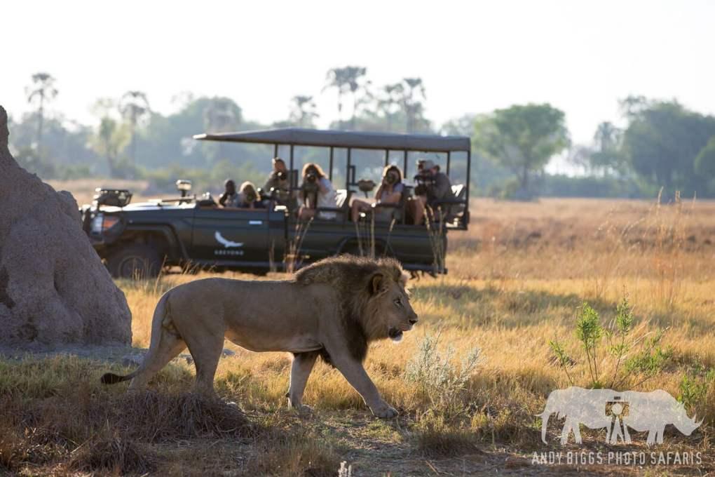 LIon walks in front of a safari vehicle on an African Photo Safari