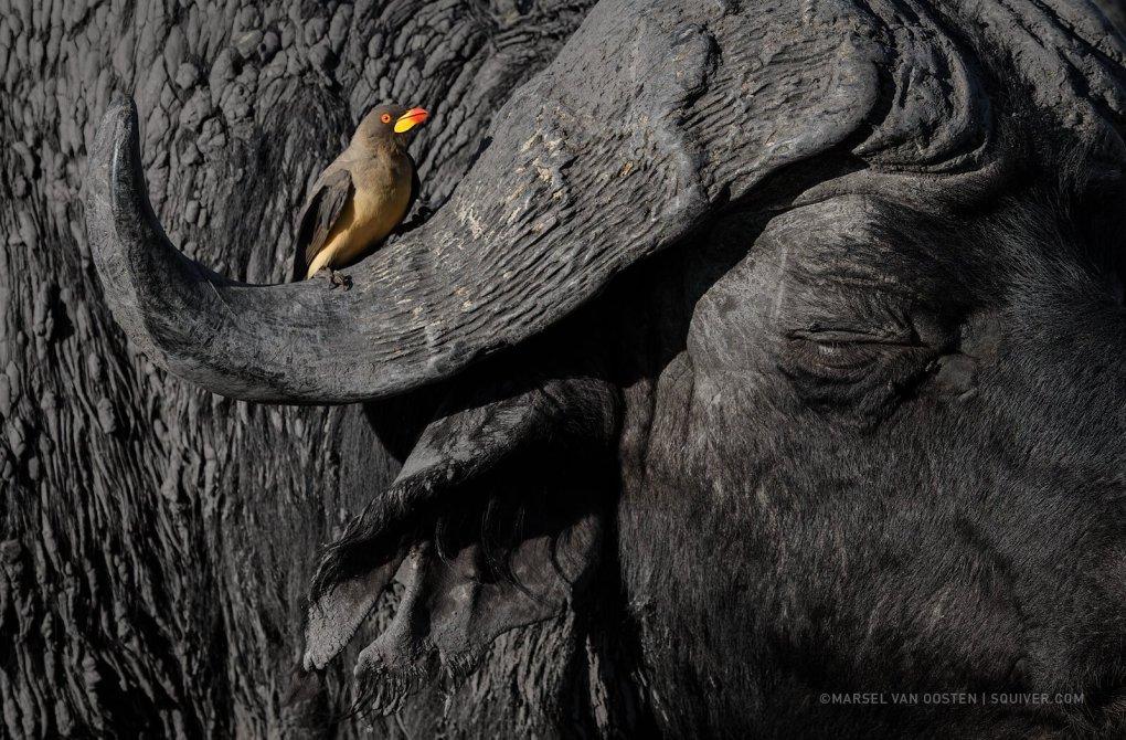 Oxpecker sitting on the boss of a cape buffalo in Botswana