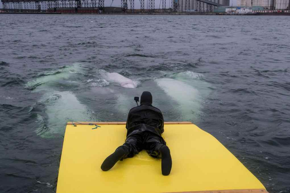 Susan Portnoy AquaGliding with beluga whales in Churchill Manitoba