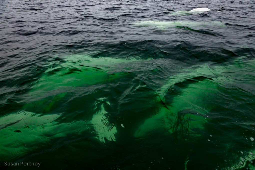 Beluga whales as seen from above in Churchil Manitoba