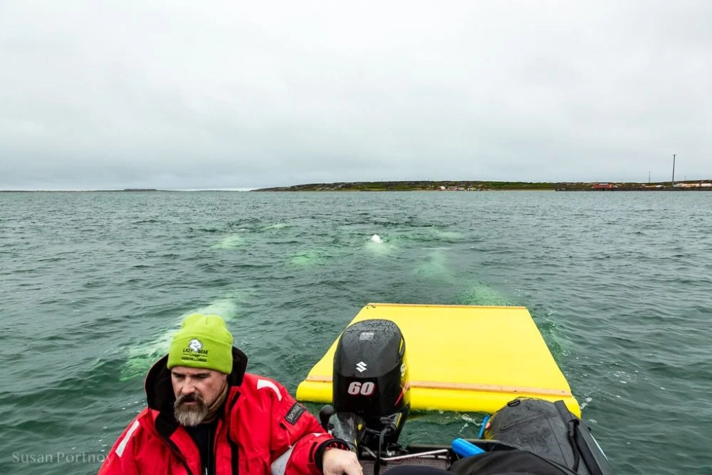 Guide Jason Ransom driving the zodiac with beluga whales swimming close behind.