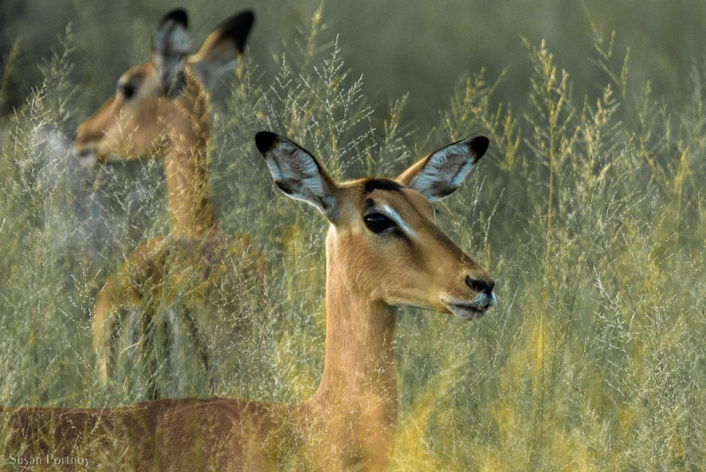 Two Impalas standing in the high grass in Botswana