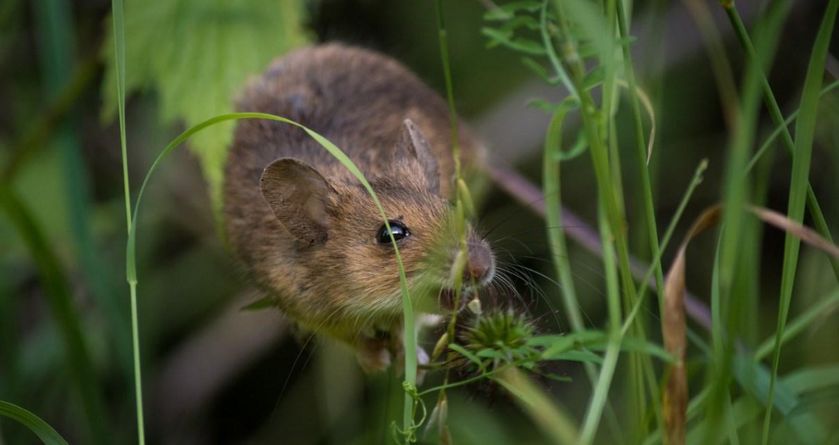 mice control problem