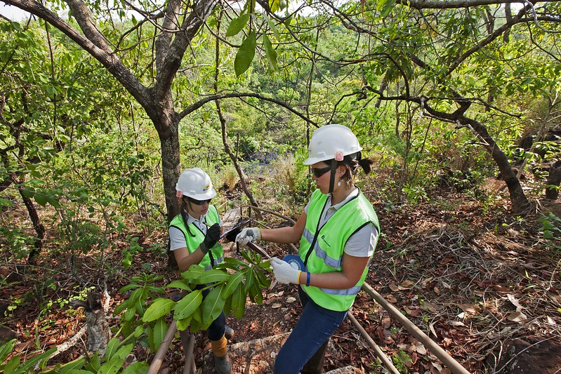 Workers examine caju and jatoba fruits as part of biodiversity studies at Anglo American's Barro Alto operation. Image: Anglo American