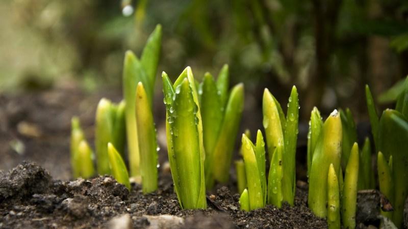 New tulip shoots. Image: Pixabay