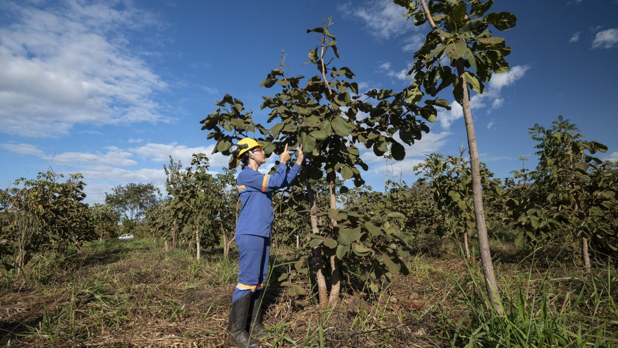 Former mining areas are replanted at Anglo American's Barro Alto nickel mine in Brazil. Image: Anglo American