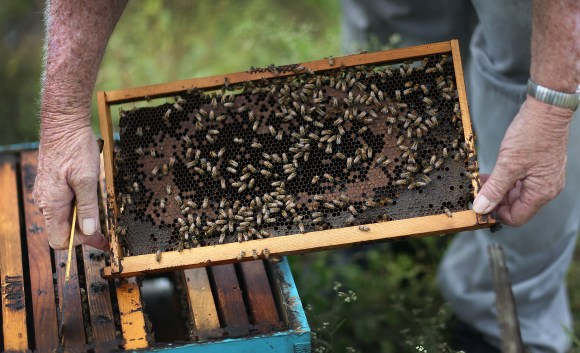 HOMESTEAD, FL - MAY 19:  John Gentzel, the owner of J & P Apiary and Gentzel's Bees, Honey and Pollination Company, works with his honeybees on May 19, 2015 in Homestead, Florida. U.S. President Barack Obama's administration announced May 19, that the government would provide money for more bee habitat as well as research into ways to protect bees from disease and pesticides to reduce the honeybee colony losses that have reached alarming rates.  (Photo by Joe Raedle/Getty Images)