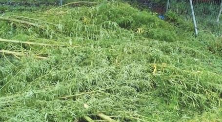GP police uproot 570 marijuana plants
