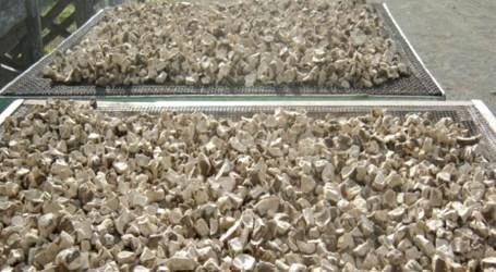 Varivao gold kava grows in US market