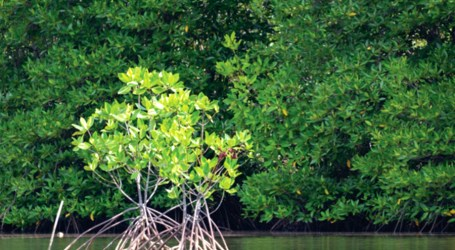 Unsustainable harvesting of mangroves a concern