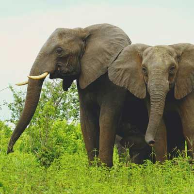 the_island_chobe_elephants