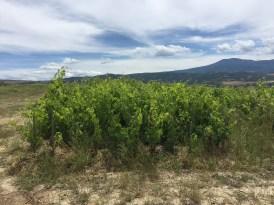 High density Sangiovese vineyards