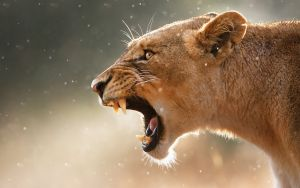 Roaring-lion-beautiful-images-desktop-fullscreen-wallpapers