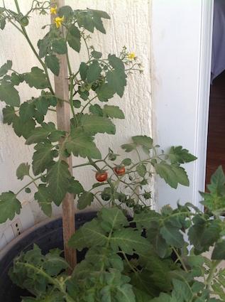 Cherry tomatoes 4.16